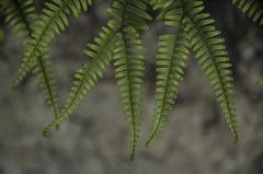 506 - Ferns (kosmekosme) Tags: fern ferns leaves leaf nature green pattern patterns geometric geometry blur blurry branch branches bokeh plant close closeup organic d7000 katoomba blue mountains australia nsw newsouthwales