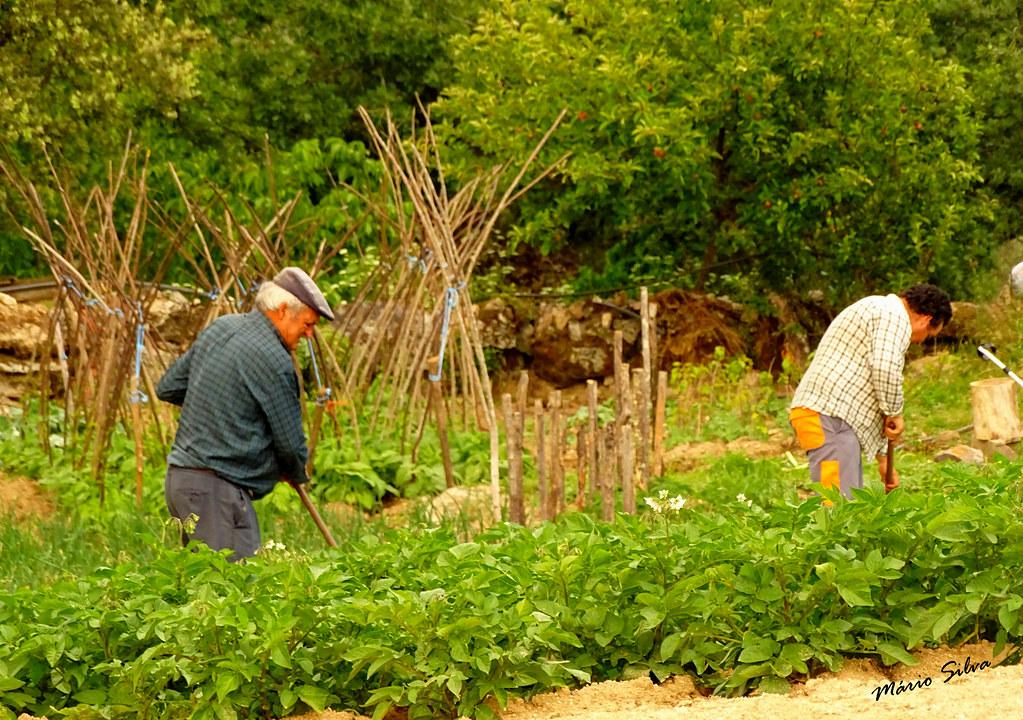 Águas Frias (Chaves) - ... tratando da horta ...