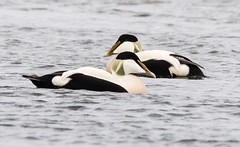 Either Eider (kimbenson45) Tags: scotland animal bird black duck eider green male nature outdoors peach pink water white wildlife