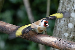 Goldfinch - take off