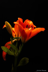 Orange Lilly (Neil Adams Photography (Wirral)) Tags: orange lilly flower beautiful black background lowlight low artisticlighting