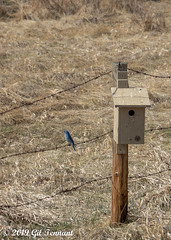 Papa watching the humble abode (Canada Pixelgrower) Tags: bird male birdhouse field preparingahome giltennant canont5i