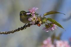 Silvereye in the Himalayan Cherry (njohn209) Tags: birds d500 nikon nz