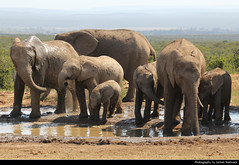Elephant herd at the waterhole, Addo Elephant NP, South Africa (JH_1982) Tags: african elephant elephants afrikanische elefant elefanten loxodonta éléphant dafrique 非洲象 アフリカゾウ属 아프리카코끼리속 африканские слоны addo national park np nationalpark parque nacional parc nazionale addoelefantennationalpark olifant nasionale 阿多大象国家公园 herd family animals young baby animal wildlife nature tier familie waterhole wasserloch south africa rsa za südafrika sudáfrica afrique sud sudafrica 南非 南アフリカ共和国 남아프리카 공화국 южноафриканская республика جنوب أفريقيا