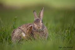WINK (Leigh-Ann Mitchell Photography) Tags: leverete brown hare scottish nature wildlife scotland