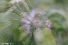 PPI_4246-7 (pavelkricka) Tags: apple blossom faded set fruit multiple exposure