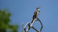 le Grand Cormoran (Joseph Trojani) Tags: cormoran cormorant oiseau bird ciel sky bleu blue lumière light tree arbre fish fisher onatree top nature animal nikon d750 tamron 150600