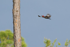 Pileated Woodpecker (stephaniepluscht) Tags: alabama 2019 bon secour national wildlife refuge pileated woodpecker