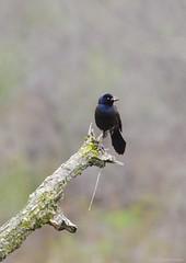 common grackle (S. J. Coates Images) Tags: mac johnson wildlife area brockville blackbird grackle common