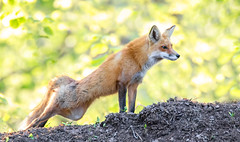 Stretch (overthemoon3) Tags: fox fixen wildlife wildlifephotography nature spring