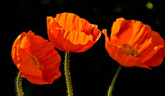 A Trio of Poppies (littlestschnauzer) Tags: trio three poppies poppy flowers flowering may colourful bright popular bees garden gardening 2019 spring springtime emley yorkshire orange petals papaver