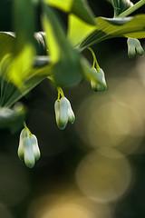 polygonatum multiflorum (bożenabożena) Tags: plants flowers springflowers polygonatum garden bokeh rośliny kokoryczka kwiaty kwiatywiosenne ogród