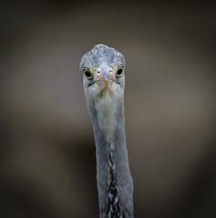 Irrer Blick (KaAuenwasser) Tags: graureiher reiher augen blick irrerblick irre federn schnabel vogel tier