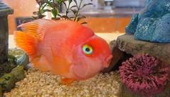 Aquarium Fish I  --  20190516192027~2 (mshnaya ☺) Tags: aquarium gold fish orange feed swim flickr photo candid point shoot leica leicac compact camera color
