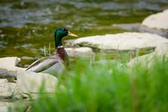 Mallard Behind Grass (Eric Tischler) Tags: mallard duck drake ohio river