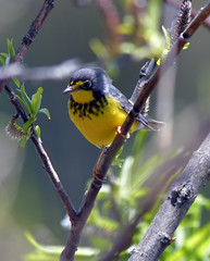Canada Warbler (Arvo Poolar) Tags: outdoors ontario canada scarborough scarboroughbluffs arvopoolar nature naturallight natural naturephotography nikond500 warbler