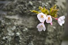 Signs of Life (CJ Burnell) Tags: toronto cherryblossom cherrystreet flower bloom spring stem macro
