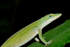 carolina anole (donjuanmon) Tags: donjuanmon nikon nature macro lizard carolinaanole green