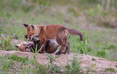 Red fox kits - Delmarva Peninsula, Delaware (superpugger) Tags: fox foxes canid canids canidae wildlife outdoors kit kits cub cubs redfox babyanimals