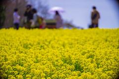 (mk*) Tags: 世羅高原農場 菜の花