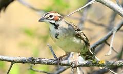 lark sparrow at Lake Meyer Park IA 653A9272 (naturalist@winneshiekwild.com) Tags: lark sparrow lake meyer park winneshiek county iowa larry reis