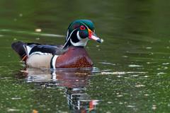 SpringLoaded (jmishefske) Tags: greenfield duck nikon milwaukee pond male lagoon westallis wood bird wisconsin d850 park drake may county 2019