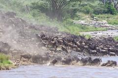 IMGP1601-2 (b kwankin) Tags: africa maramto serengeti tanzania wildebeestwesternwhitebearded