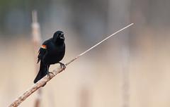 Carouge à épaulettes // Red-winged Blackbird (Keztik) Tags: carouge à épaulettes redwinged blackbird agelaius phoeniceus oiseau bird animal wildlife nature nikon nikond7500 d7500 marais sherbrooke swamp stfrancois realdcarbonneau