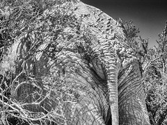 Elephant skin (peterkaroblis) Tags: elefant elephant loxodontaafricana addopark southafrica blackandwhite schwarzweiss