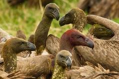 The Feeding frenzy.... (lyn.f) Tags: whitebacked vultures gypsafricanus choberiver botswana africa safari scavengers feedingfrenzy nikon water waterislife