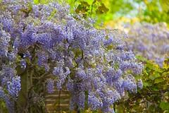 Sexby's Gardens @SE15 (Adam Swaine) Tags: wisteria peckhamryepark flora flowers london londonparks green purplegreen petals beautiful naturelovers nature canon plants england english se22 uk spring 2019
