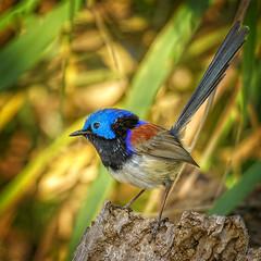 in the shadows - ♂ verigated fairy-wren (Fat Burns ☮) Tags: variegatedfairywren maluruslamberti bird smallbird australianbird fauna australianfauna nikond500 nature wren fairywren oxleycreekcommon brisbane quwwnsland australia nikon200500mmf56eedvr