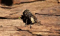 Platystomos albinus (jon. moore) Tags: platystomosalbinus denhamcountrypark buckinghamshire anthribidae coleoptera fungusweevil