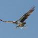 Osprey pt cartwight