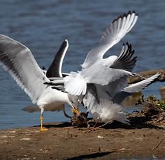 Predation (Whistling Joe) Tags: whistlingjoe canoneos80d canonef400mmf56lusm rspb minsmere lesser black backed headed gull predation