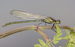 Untitled4 (A Closer Focus) Tags: damselfly damsel dragon fly wings eyes water river pond spring macro blue tail common variable fens cambridgeshire roswell pitts ely wildspace ea ouse greater