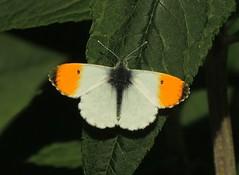 Orange Tip (Anthocharis cardamines) Male (Rezamink) Tags: orangetip anthochariscardamines butterflies uk