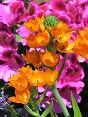 spring (gerben more) Tags: spring springflowers orange purple flowers flower flora