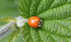 Harmonia axyridis (jon. moore) Tags: denhamcountrypark buckinghamshire coleoptera harmoniaaxyridis harlequinladybird coccinellidae