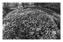 a vampire's nightmare (Francis Mansell) Tags: flower plant garlic wildgarlic monochrome blackwhite niksilverefexpro2 forest eppingforest clump leaf foliage alliumursinum spring