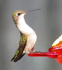 female ruby-throated7 (Patricia Pierce) Tags: femalerubythroatedhummingbird rubythroatedhummingbird hummingbirds nationalwildlifefederation nationalgeographic alabamawildlife alabamabackyardwildlife alabama mobilealabama thenatureconservancy backyardwildlife
