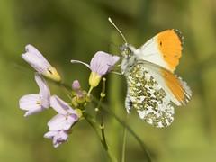 Oranjetipje - Hancate, Hellendoorn (mariandeneijs) Tags: anthochariscardamines oranjetipje dagvlinder witje voorjaarsvlinder butterfly hancate hankate regge deregge benedenregge hellendoorn