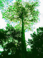 Trees and Leaves (Steve Taylor (Photography)) Tags: digitalart blue green white asia singapore leaves trees trunk texture