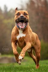 Picture of the Day (Keshet Kennels & Rescue) Tags: adoption dog ottawa ontario canada keshet large breed dogs animal animals pet pets field nature photography boxer mix run big mouth wide open happy funny play fun spring