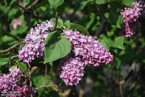 Київ, Ботанічний сад імені Гришка  Цвіте бузок InterNetri Ukraine 88
