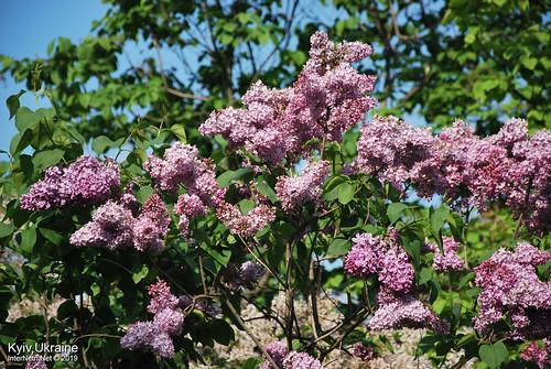Київ, Ботанічний сад імені Гришка  Цвіте бузок InterNetri Ukraine 84
