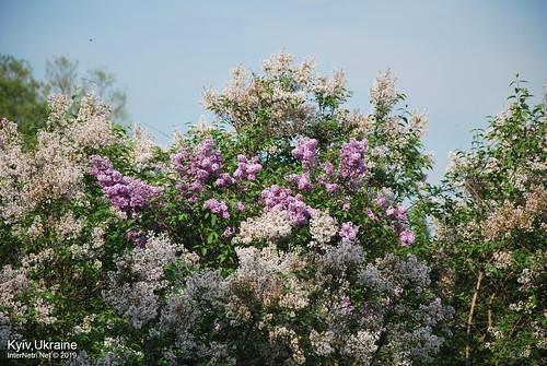 Київ, Ботанічний сад імені Гришка  Цвіте бузок InterNetri Ukraine 82