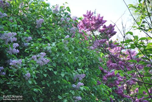 Київ, Ботанічний сад імені Гришка  Цвіте бузок InterNetri Ukraine 80