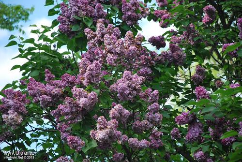 Київ, Ботанічний сад імені Гришка  Цвіте бузок InterNetri Ukraine 47