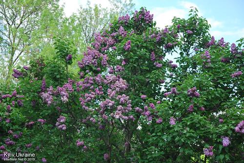 Київ, Ботанічний сад імені Гришка  Цвіте бузок InterNetri Ukraine 45